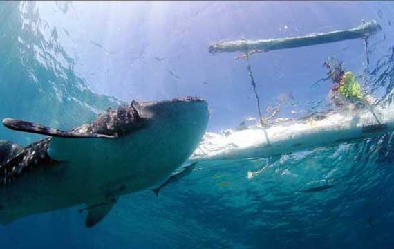 Whaleshark Watching Oslob - Southern Cebu